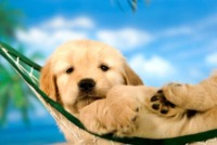 filhote-fofo-de-labrador-deitado-na-rede-petrede