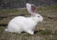 White-Rabbits-breed-giant1-300x209