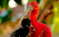 scarlet-ibis-mother-and-baby