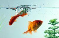 rybki_akvarium_voda_zolotye_rybki_makro_1600x1200