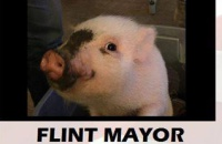 свинка-кандидат-на-выборах